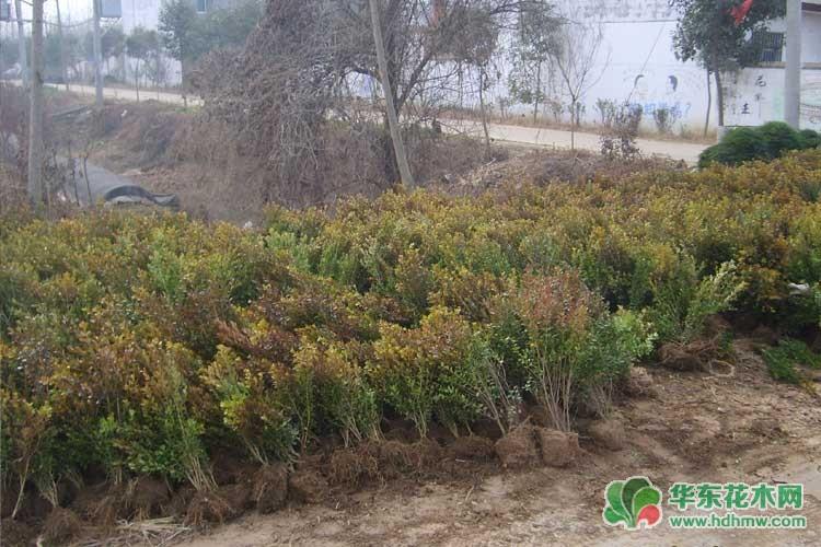 灌木小叶黄杨