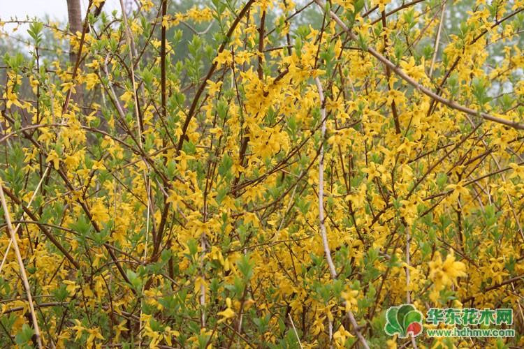 灌木种类连翘