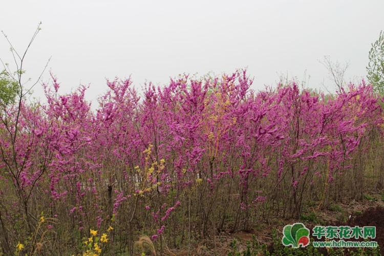 灌木紫荆花