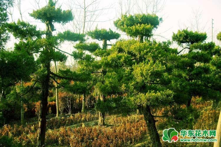造型龙柏树
