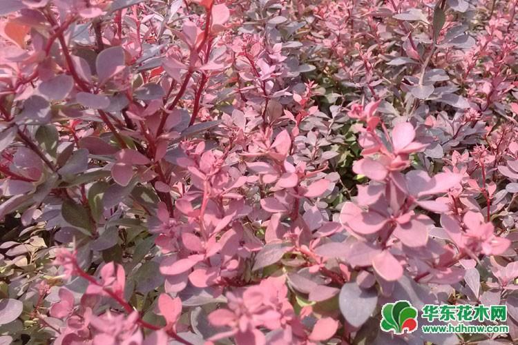 紫叶小檗图片