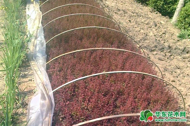 红叶小檗床苗
