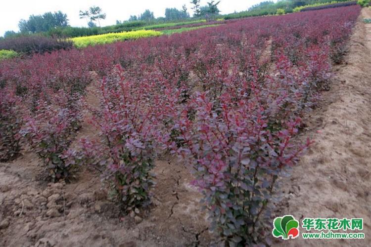 紫叶小檗毛球