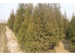 沭阳1.8米塔柏苗木价格低销
