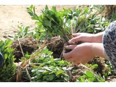 大量扦插大叶黄杨小苗床苗出售