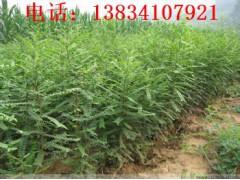 皂角苗价格 山西圃直供产刺大皂角苗出售皂角苗