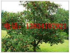 山西晋航苗木供应3公分,5公分,8公分,10公分山楂树