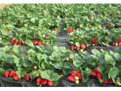 章姬草莓苗 红颜草莓苗 法兰地草莓苗 四季草莓苗