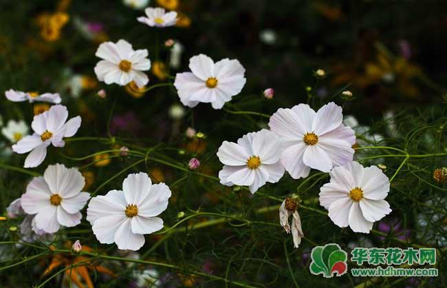 波斯菊的花语和传说