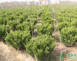 常绿灌木植物有哪些?常见花灌木种类图片欣赏
