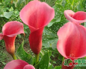 彩色马蹄莲在室内怎么养?彩色马蹄莲的养殖方法和注意事项