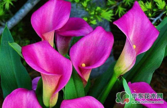 彩色马蹄莲的养殖方法