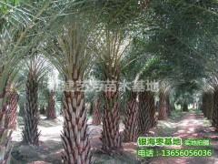 批发供应中东海枣 银海枣 杆高1-6米产地价格