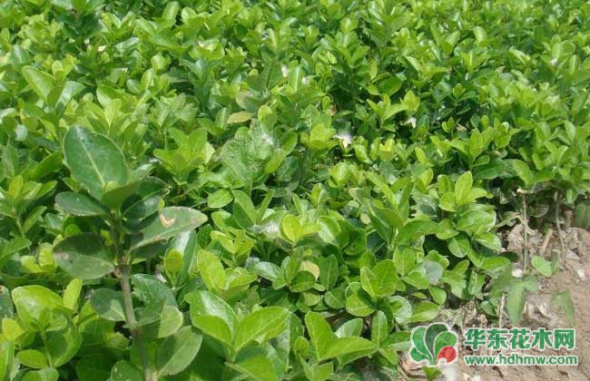 小叶黄杨和大叶黄杨怎么区分?大小叶黄杨的区别介绍