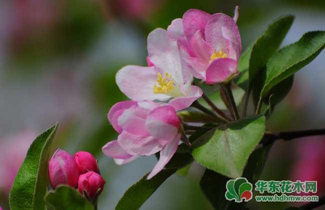 西府海棠的养殖方法