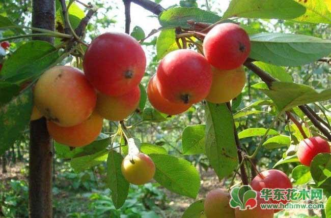 冬红果盆景叶片发黄