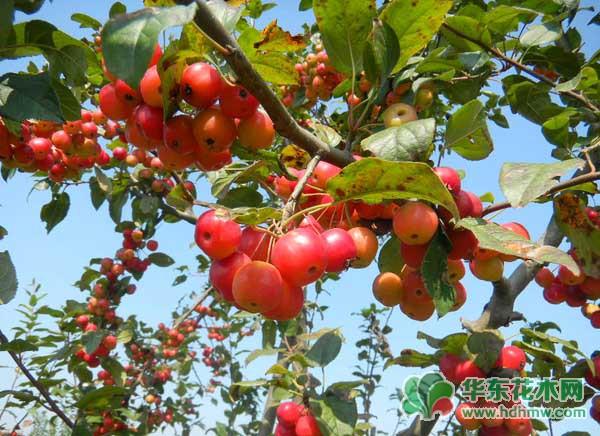 冬红果盆景叶片发黄怎么办?