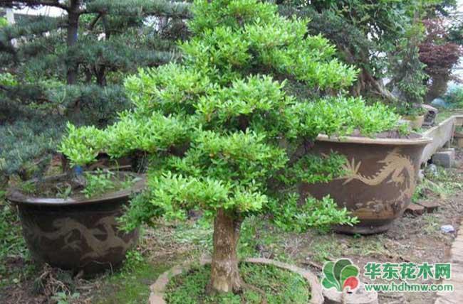 造型小叶黄杨木盆景的制作方法图解