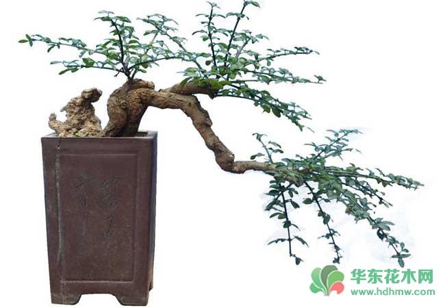 悬崖式迎春花盆景制作的特点介绍图片