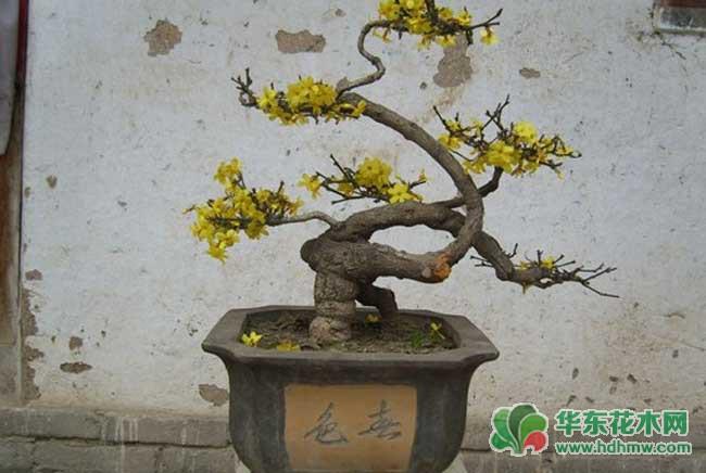 悬崖式迎春花盆景制作的特点介绍