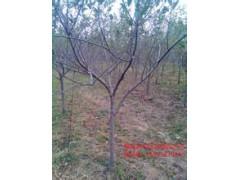 3公分核桃树 桃树 樱桃树 柿子树