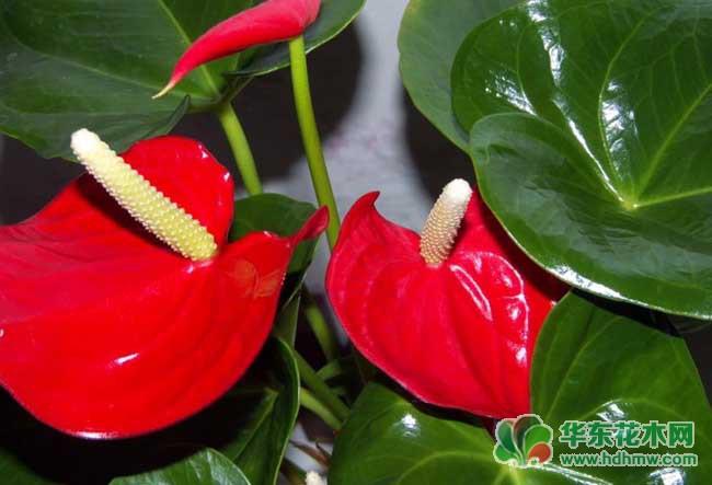 红掌的养殖方法和注意事项
