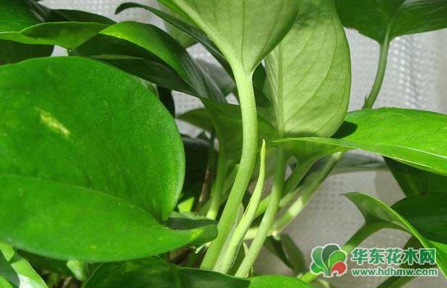 水培花卉植物:绿萝叶子发黄是什么原因?怎么办呢?