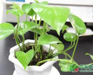 绿萝怎么养?盆栽绿萝的养殖方法和注意事项